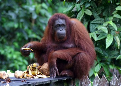 Borneo Tour Holidays by Dee-luxe Journeys - Orangutan