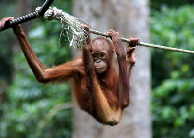 Borneo Organised Tours by Dee-luxe Journeys | young Organutan